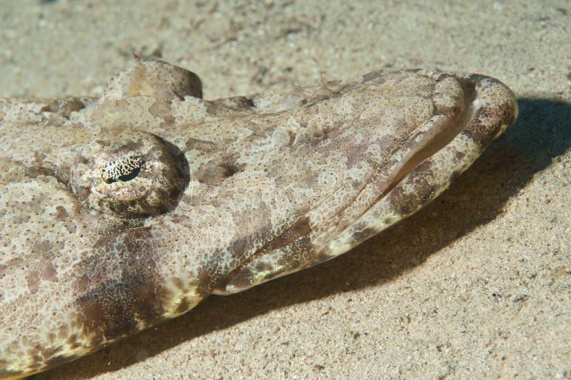 Download Crocodile-fish On Sand Royalty Free Stock Photo - Image: 16046925