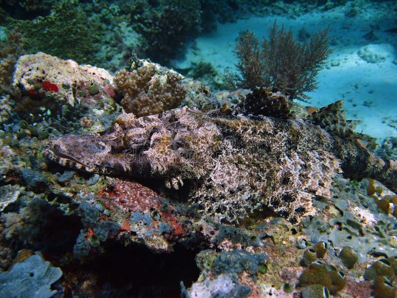 Crocodile fish sipadan coral reef stock image