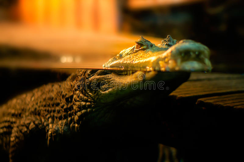 Crocodile floating on the water surface royalty free stock images