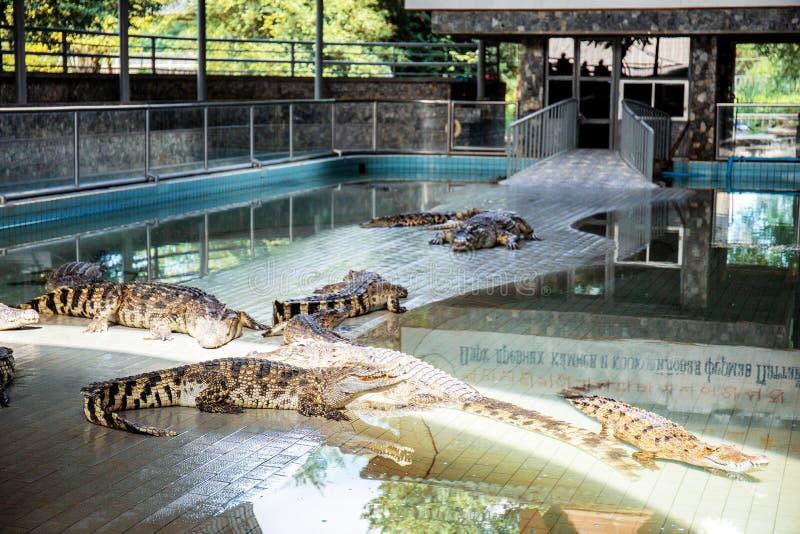 Crocodile on floor in farm. stock image