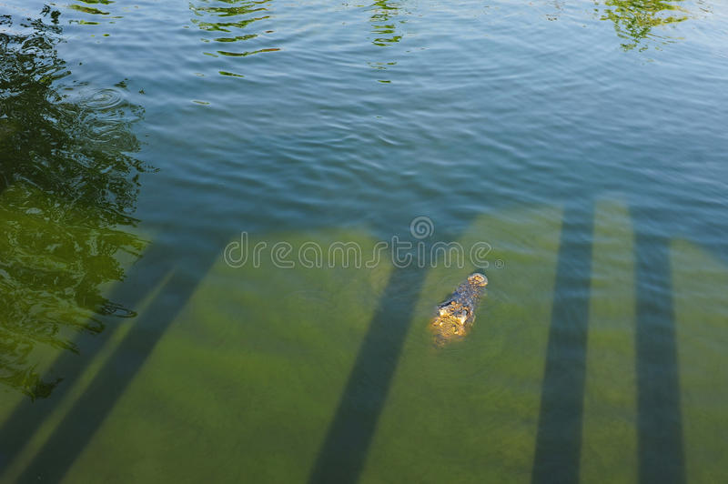 Download Crocodile in green water stock image. Image of predator - 22744715