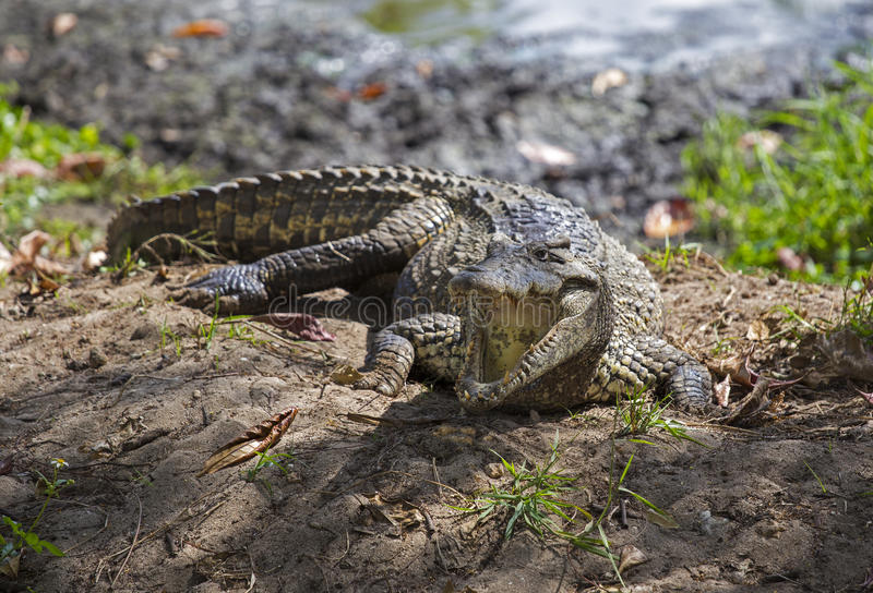 Crocodile in Guama. Crocodile in crocodiles farm in Guama, Cuba stock photo