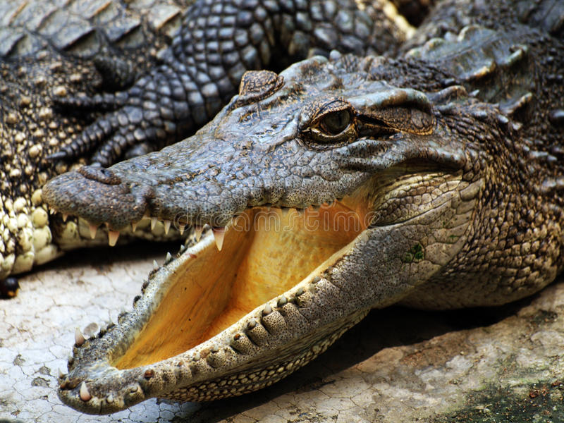 Crocodile head royalty free stock photography