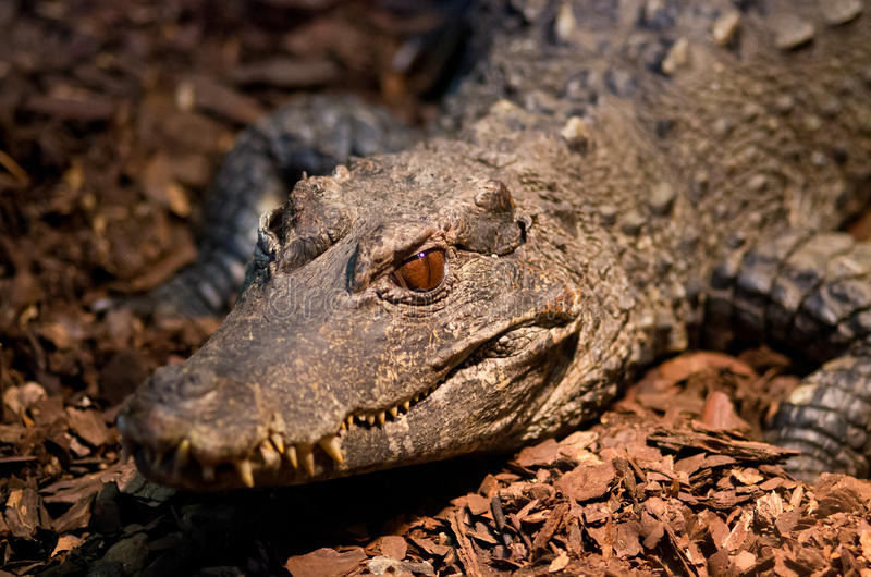 Download Crocodile head stock image. Image of leather, color, australia - 26813115