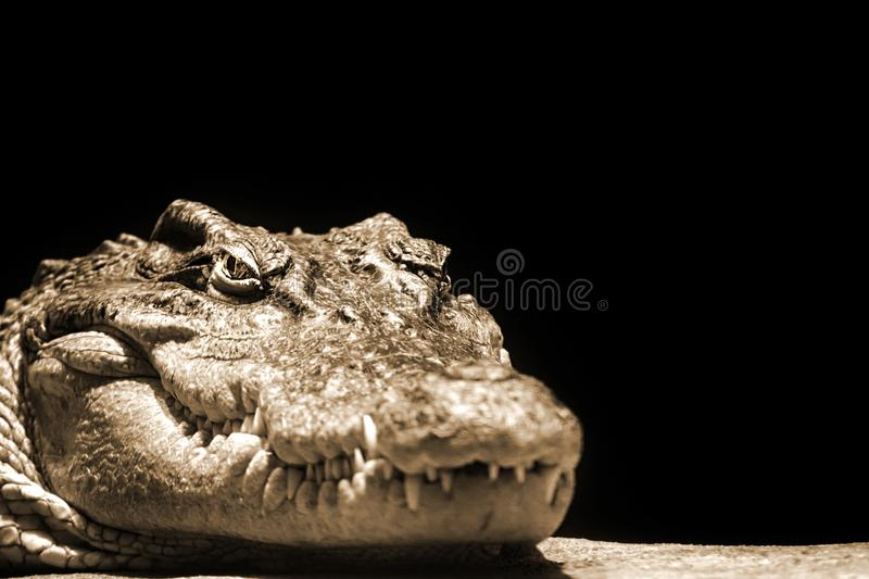 Crocodile head on a black background in sepia colors royalty free stock image