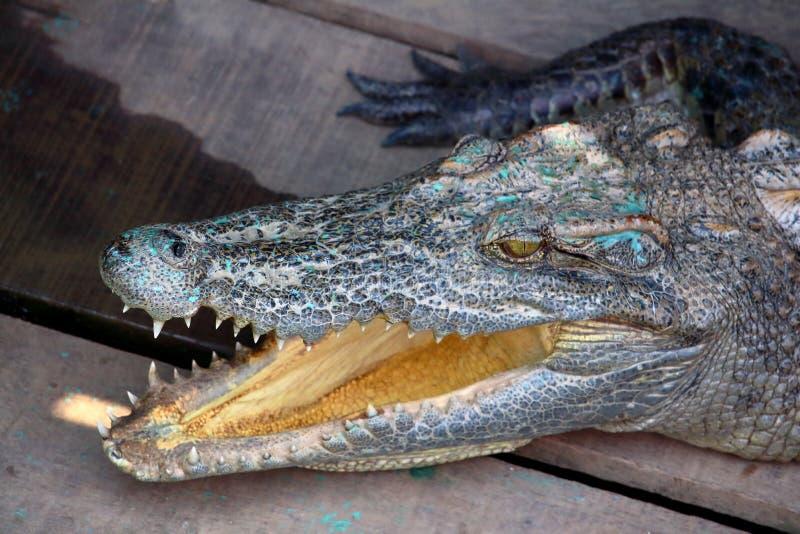Crocodile head detail. Crocodile at Chong Khneas village, on Tonle Sap Lake, Cambodia stock photo