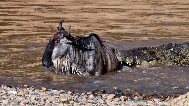 Download The Crocodile Holds The Wildebeest In River Mara Stock Photo - Image: 15612160