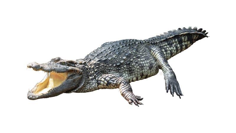 Crocodile isolated on white background. royalty free stock photography
