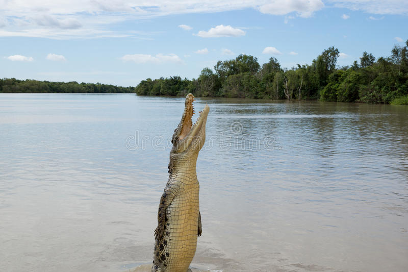 Crocodile jumping in river royalty free stock images