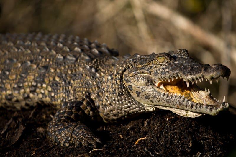 Crocodile juvénile images libres de droits