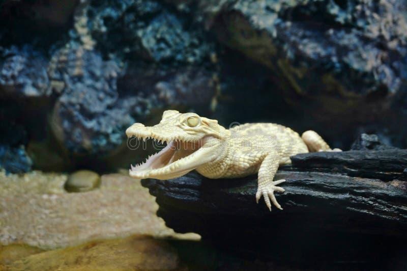 Crocodile juvénile albinos, crocodile albinos photographie stock libre de droits