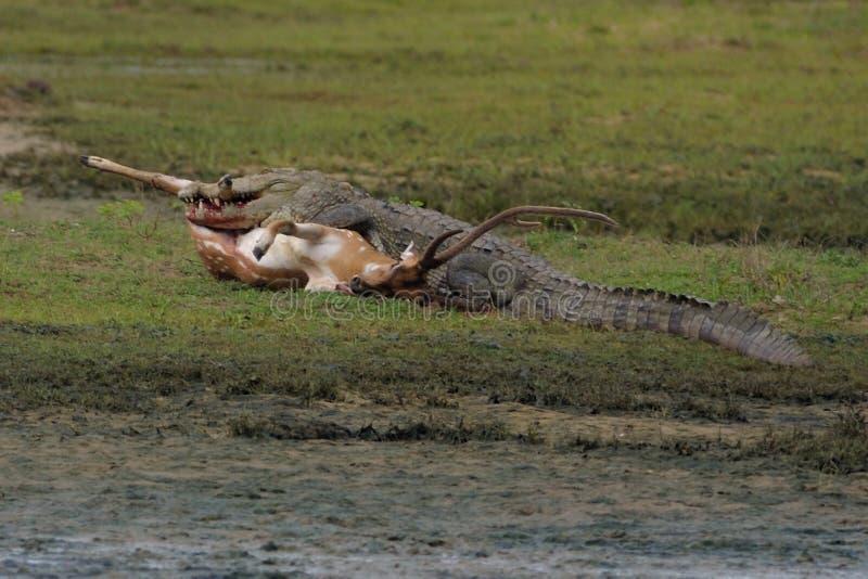 Crocodile Kill Deer Free Public Domain Cc0 Image