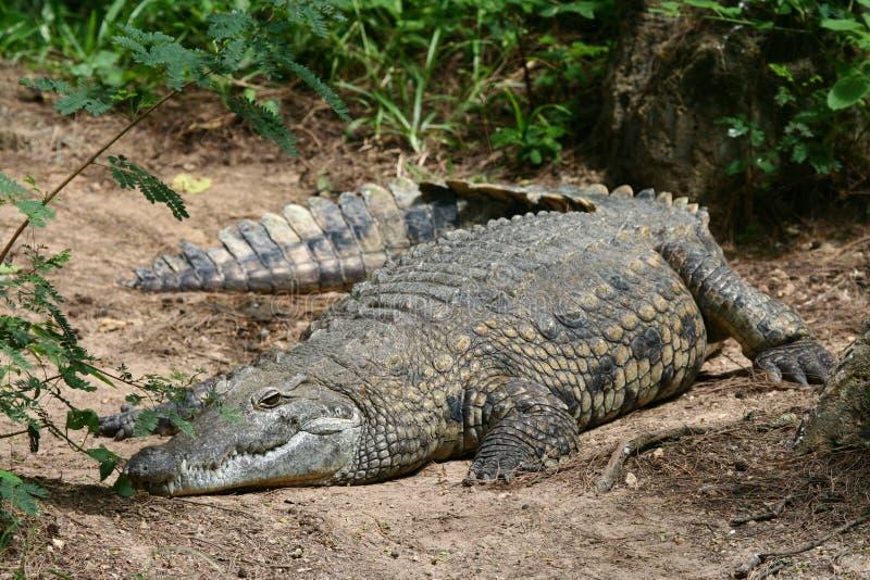 crocodile le Nil images stock