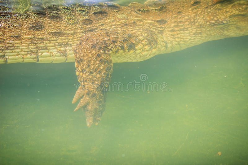Crocodile leg while swimming under water and waiting for prey stock images