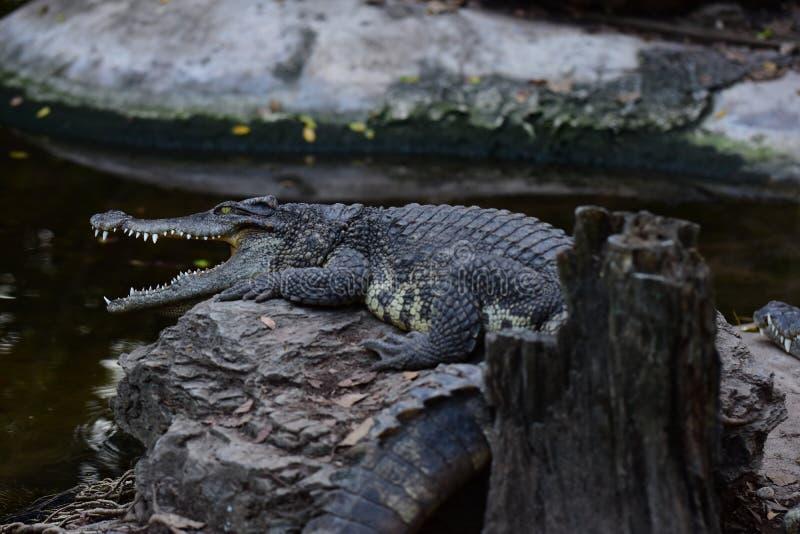Crocodile lying on the rock. royalty free stock photo