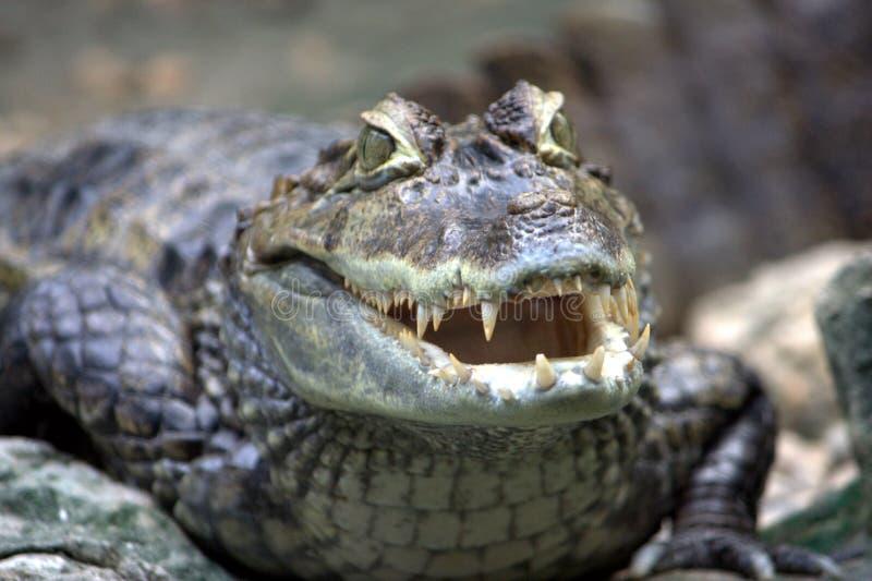 Crocodile menaçant photographie stock