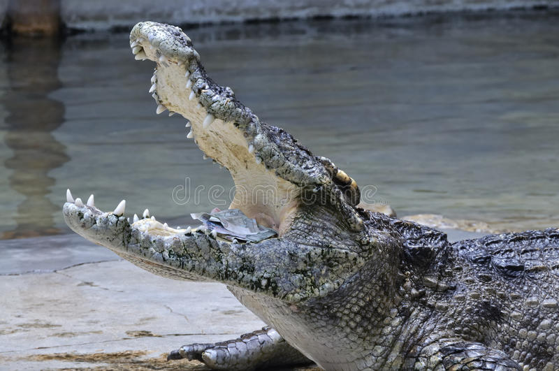 Crocodile with money in his mouth, Thailand royalty free stock photos