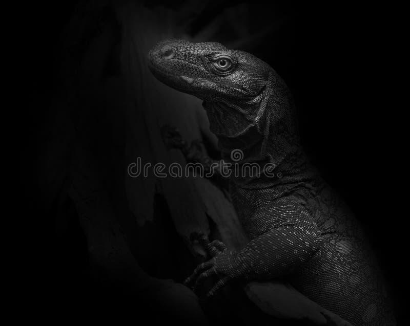 Crocodile Monitor Varanous salvadori on black background royalty free stock image