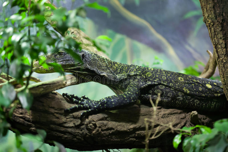 Crocodile monitor (Varanus salvadorii). Also known as the Salvadori's monitor. Wildlife animal stock images