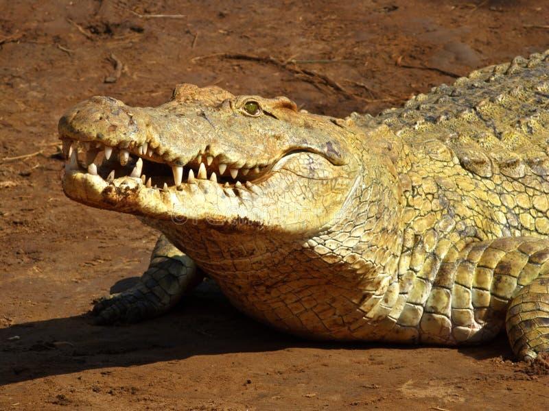 Crocodile mouth royalty free stock photos