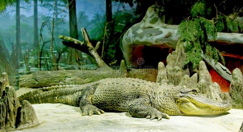 Crocodile nain 1 image libre de droits