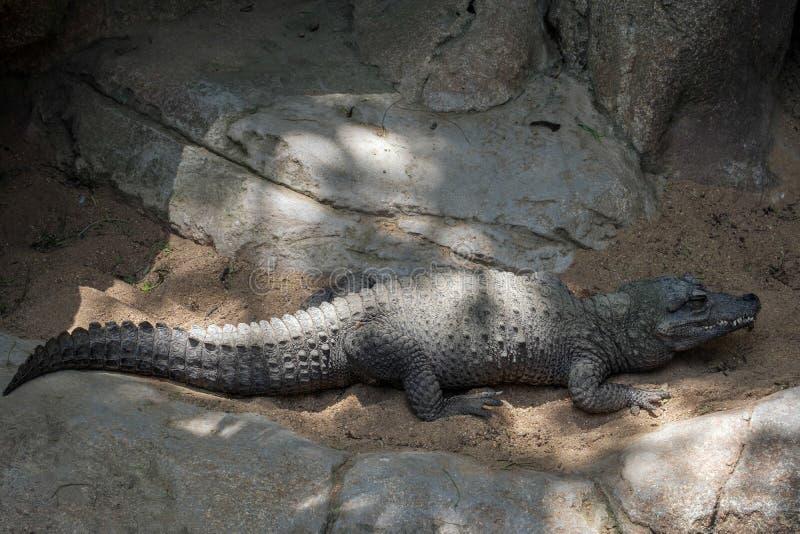 Crocodile nain image stock