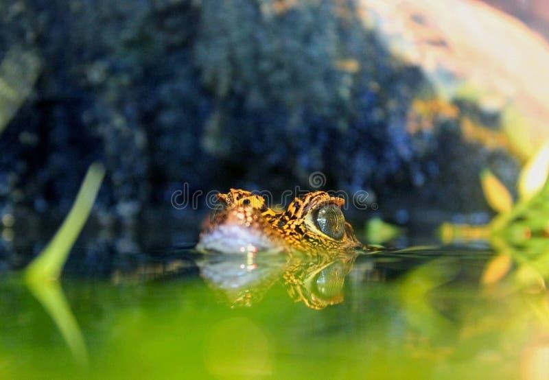 Crocodile nain d'Afrique occidentale de bébé, Ambushment photo libre de droits