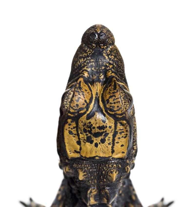 Crocodile nain sur le fond blanc photos libres de droits
