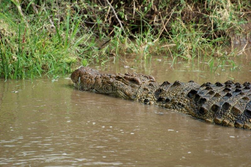 Crocodile royalty free stock photo