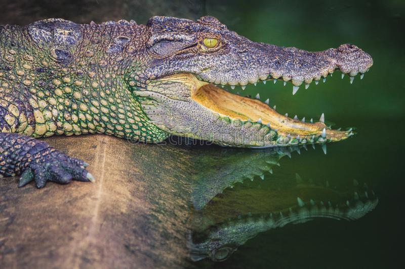 Crocodile with open jaws. Profile of a crocodile in a pond with green water. Open mouth and sharp teeth. Intense yellow eyes stock images