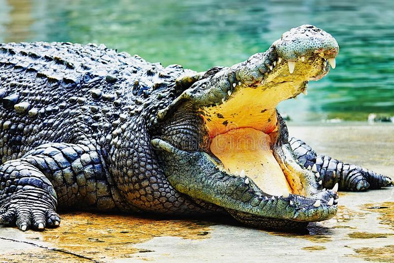 Crocodile with open mouth, full av tänder, in the pool at a performance in Thailand arkivbild
