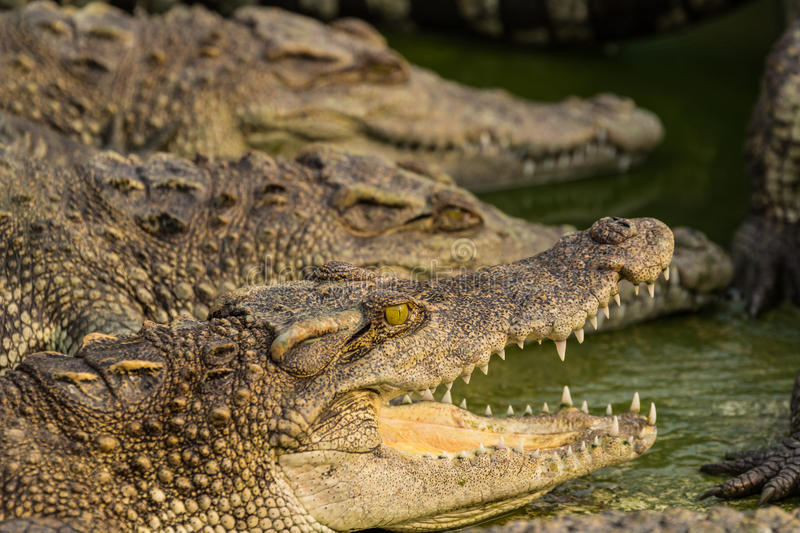 Crocodile. With open mouth lying in farm, Thailand royalty free stock photos