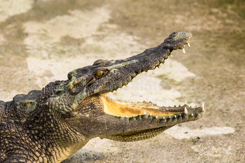 Crocodile with open mouth. Lying in farm, Thailand stock photo