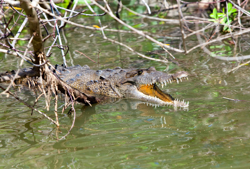 Crocodile with the opened mouth. The Black river, royalty free stock photography