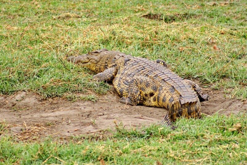 Crocodile par la rivière au Botswana images stock