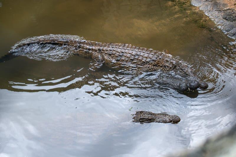 The crocodile park in Mauritius. Crocodiles swim in water, the t stock photo