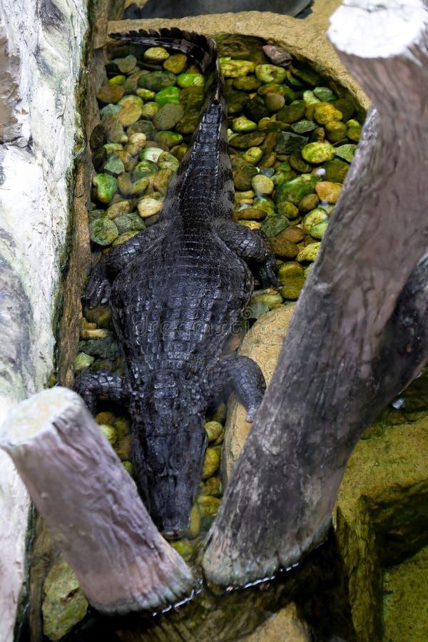 The crocodile park in Thailand. Crocodiles swim in water royalty free stock image