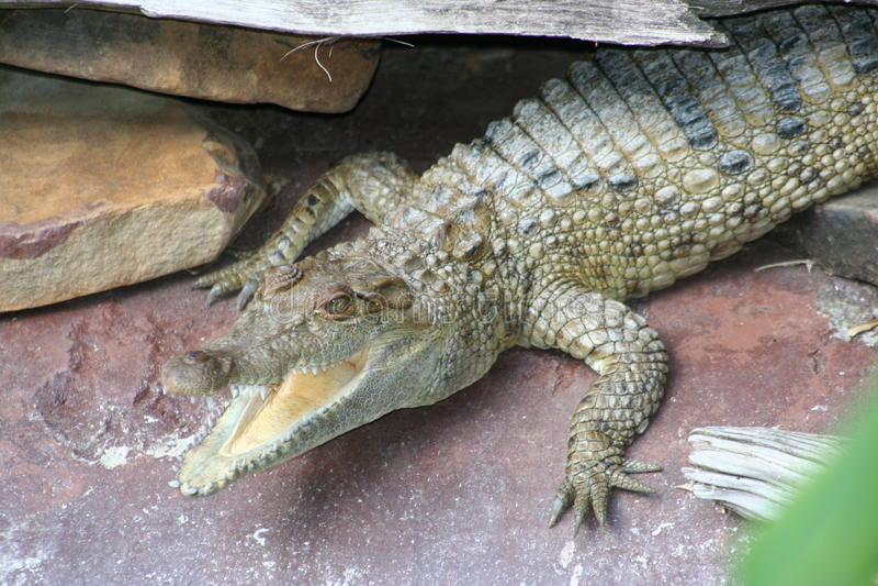 Crocodile philippin (esprit de novaeguineae de Crocodylus image stock