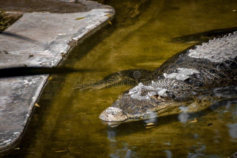 Crocodile photos. Wildlifephotography nationalpark wateranimal alligator royalty free stock photos