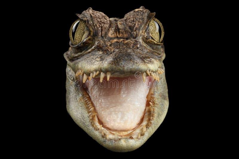 Crocodile principal de caïman de plan rapproché le jeune avec la bouche ouverte a isolé le noir photos stock