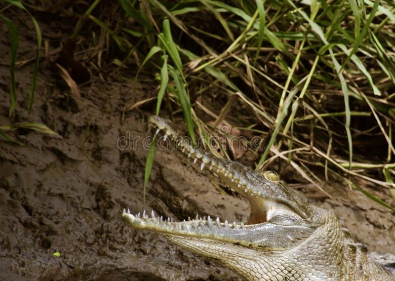 Crocodile relaxing along a river taking time to yawn royalty free stock images