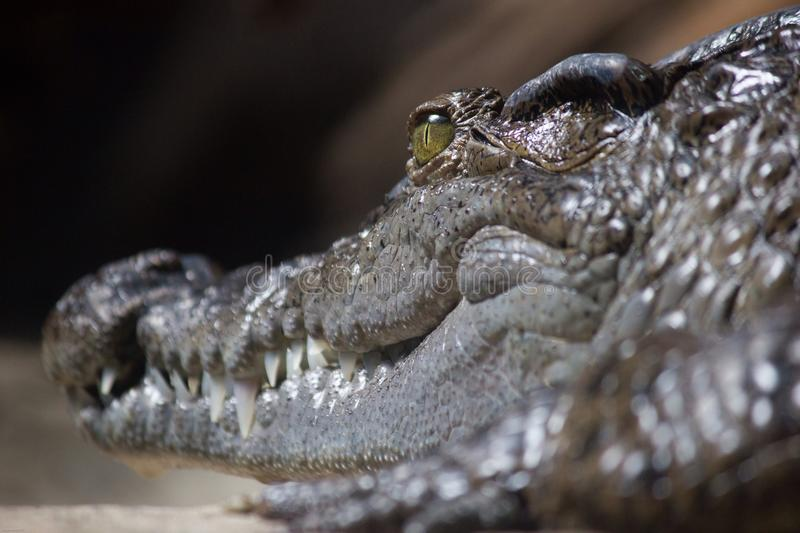 Crocodile. At rest stock photography