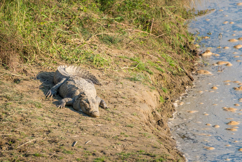 Crocodile on a river bank royalty free stock photography