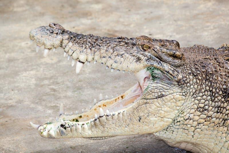 Download Crocodile stock photo. Image of crocodile, reptile, scales - 35584446