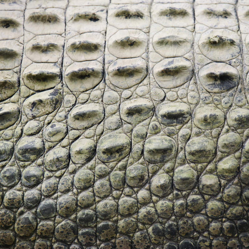 Crocodile scales. royalty free stock images