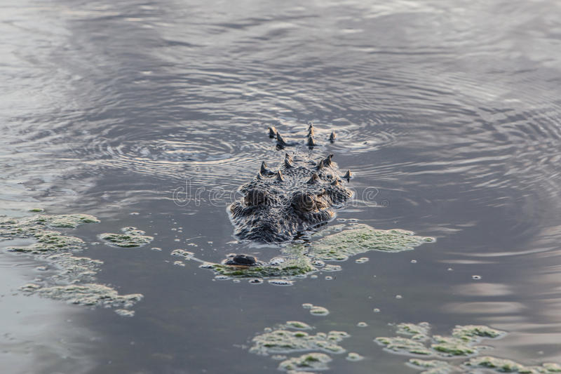 Crocodile in Shallow Water. An American crocodile swims in shallow water near an island off the coast of Belize. This large and dangerous reptile can grow to 20 stock image
