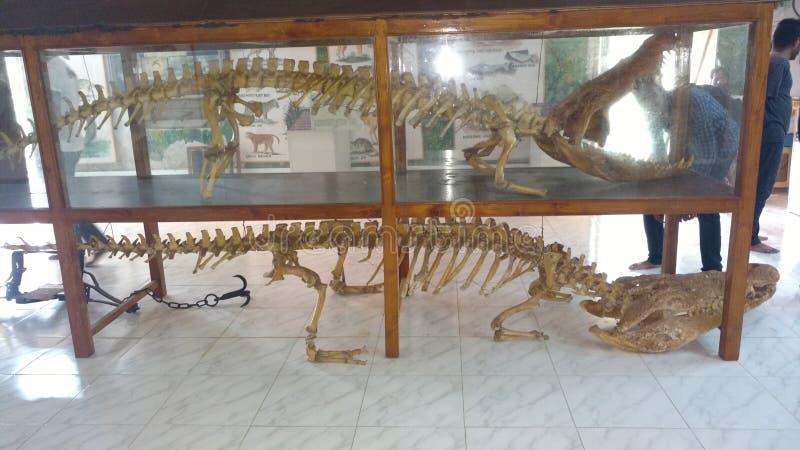 Crocodile Skeltons royalty free stock photo