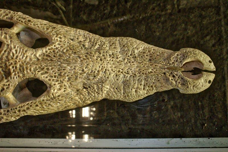 Crocodile skull, bone element. Adventure, america, background, beautiful, beauty, bird, birdwatching, blue, boat, forest, fun, green, holiday, jungle royalty free stock images