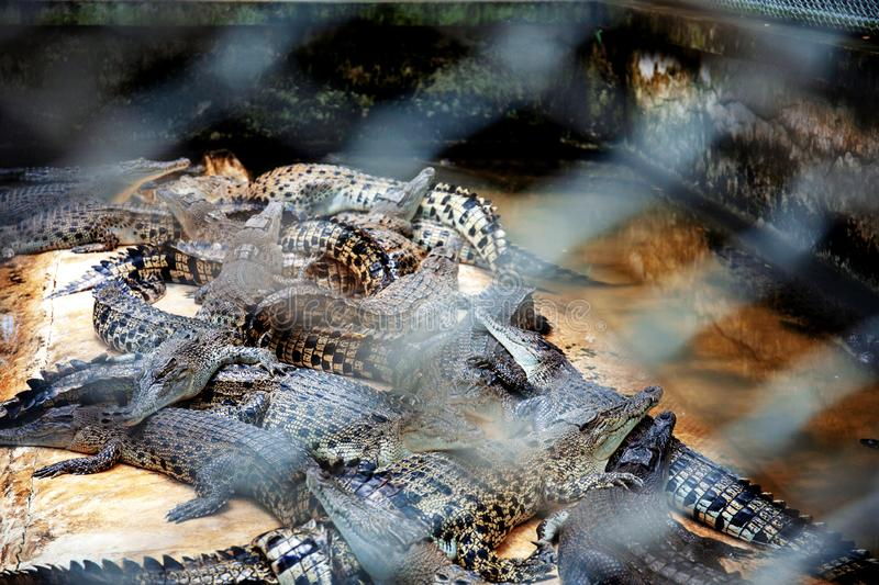 Crocodile with steel cage of blur. stock images