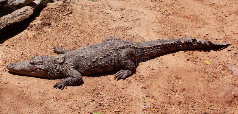 Crocodile sun bath. Mugger or marsh crocodile sun bath in crocodile bank -chennai,tamilnadu, india stock photos